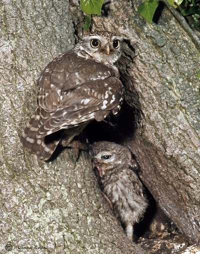 Female Little Owl with chick.