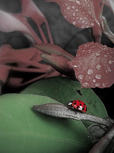 Ladybird BW Colour flash ii