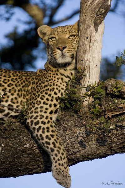 Resting leopard. Unedited version.