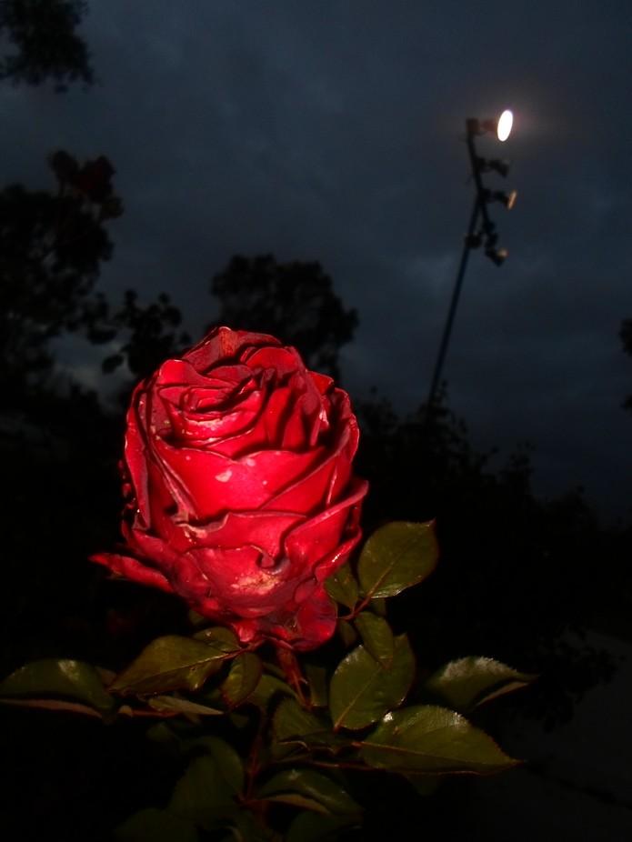 Rose night shot Fill flash