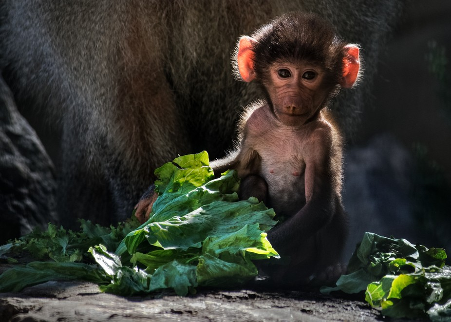 This baby baboon boy was born on 27 October, 2016