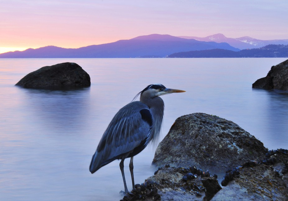 I was setting up to photograph the sunset, and this  heron just decided to make a landing where I...