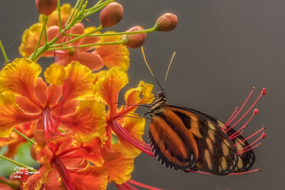 Taken at a butterfly farm on the north Island in New Zealand.  It was good enough to sit still fo...