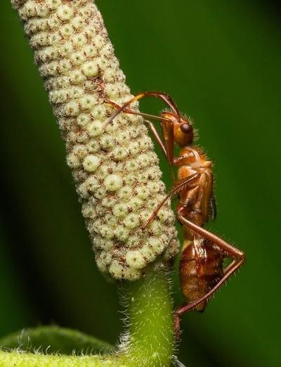 Ant-mimick