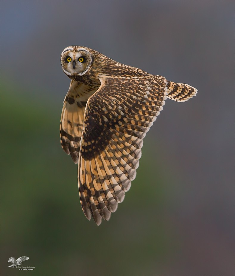 Estuary Short-Ear in Flight by stevelarge - My Best Shot Photo Contest Vol 3