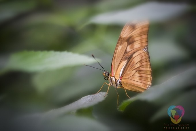 Butterfly between the leafs by fredwormsbecher - Beautiful Butterflies Photo Contest