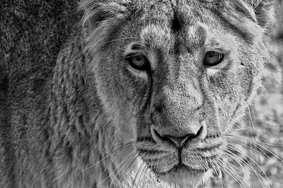 Taken whilst photographing the Queen opening new lion enclosure at London Zoo