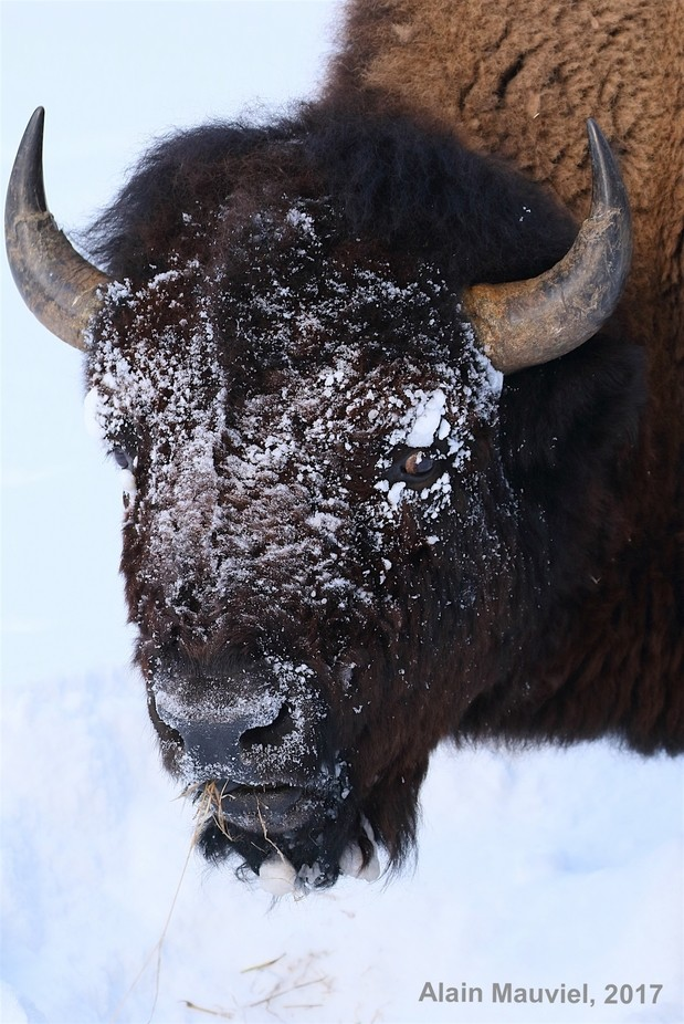 Bison, Yellowstone National Park, Wyoming. 01/2017 by alainmauviel - Big Mammals Photo Contest