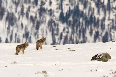 Coyotes, Yellowstone National Park, 01-2017