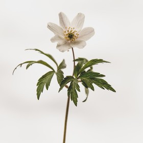 Beautiful Anemone Nemorosa flower, with a cloudy sky in the background. And if you look close, you can see a small insect hanging upside down.