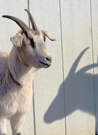 Goat #2