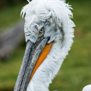 Love the wild feathers on top of Dalmatian Pelicans heads.  Talk about bad hair days :-)