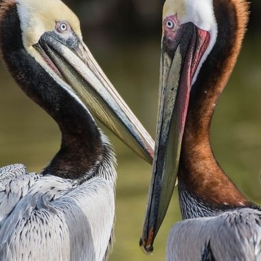 Brown Pelicans hanging out on shore.