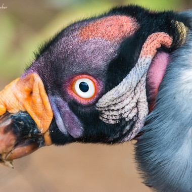 Love the colors on this King Vulture.