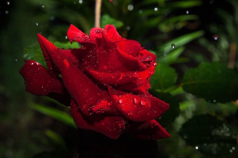 Raindrops showered red rose.