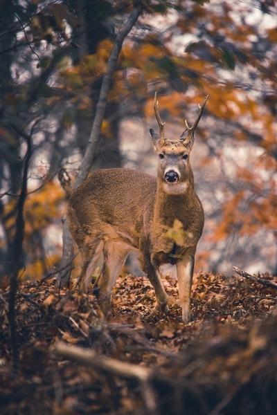 3 Legged Deer