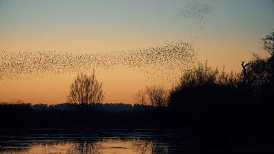 murmuration flock of starlings birds at sun down