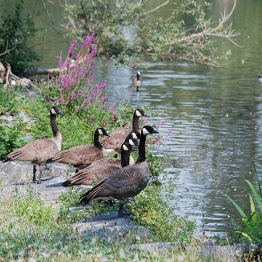 Canadian Geese - Aug 2016 - Chilliwack, B.C.