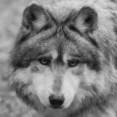Close up of a Mexican Grey Wolf