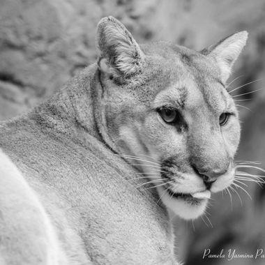 Mountain Lion in Black & White