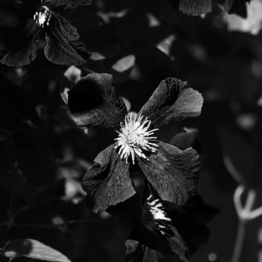 Clematis in B&W