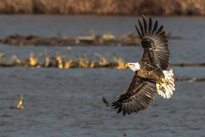 Bald Eagle Full Spread by BensViewfinder - Just Eagles Photo Contest