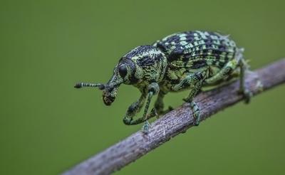 Botany Bay Weevil