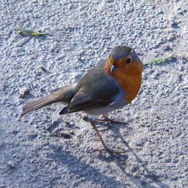 Robin cheekily looking at me.