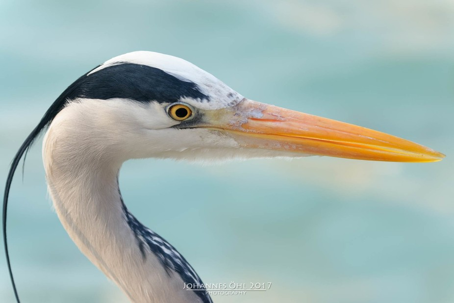 A grey heron has a long yellow beak. Adults have a white head and neck with a broad black stripe ...