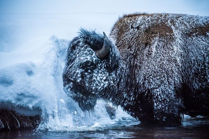 Bison by katemontague - Wildlife And Water Photo Contest