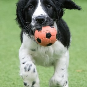 A young springer spaniel puppy playing in the garden.