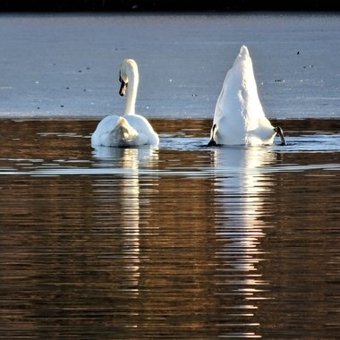 Beautiful sunny frosty Day at Murton Nature reserve Lake was partial iced over loved taking pics of the graceful swans .