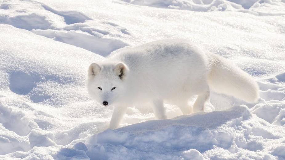Arctic Fox * Renard polaire  The Arctic fox (Vulpes lagopus), also known as the white fox, polar ...