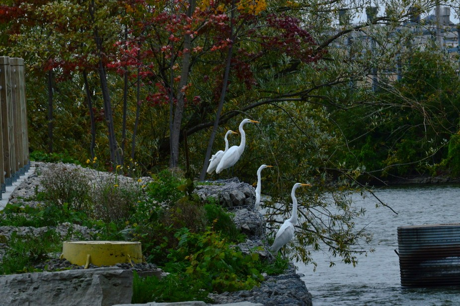 Egrets standing at attention at the edge of the river