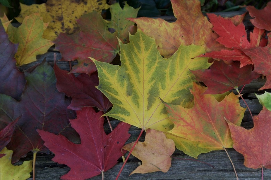 Leaves in Ontario this fall