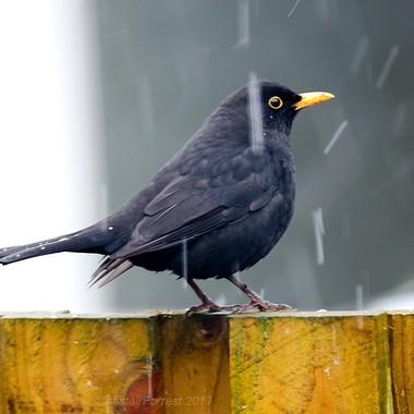 Black Bird in my back garden