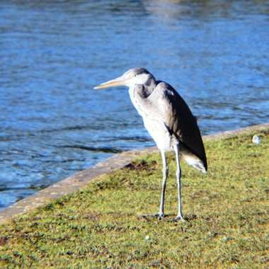 Heron on riverbank.
