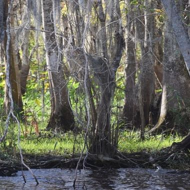 Swamp land St Johns River