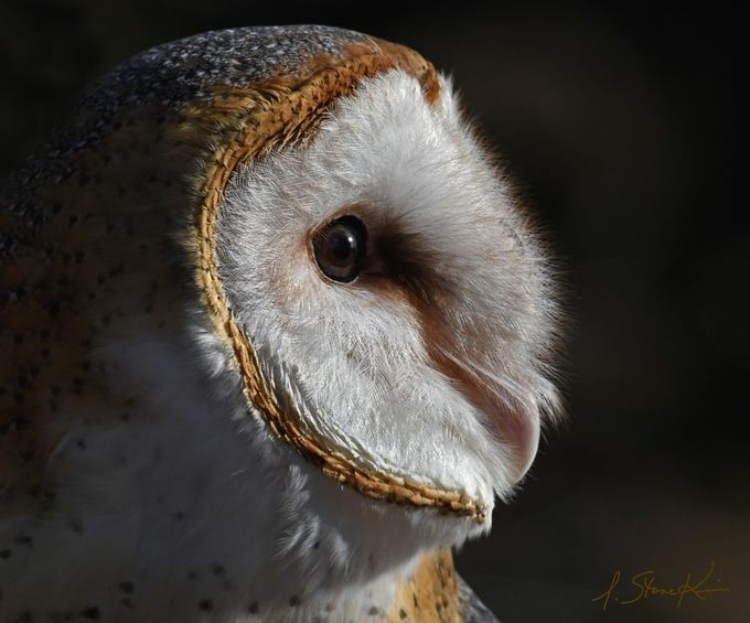 Barn Owl Profile by lstonekim - Image Of The Month Photo Contest Vol 18