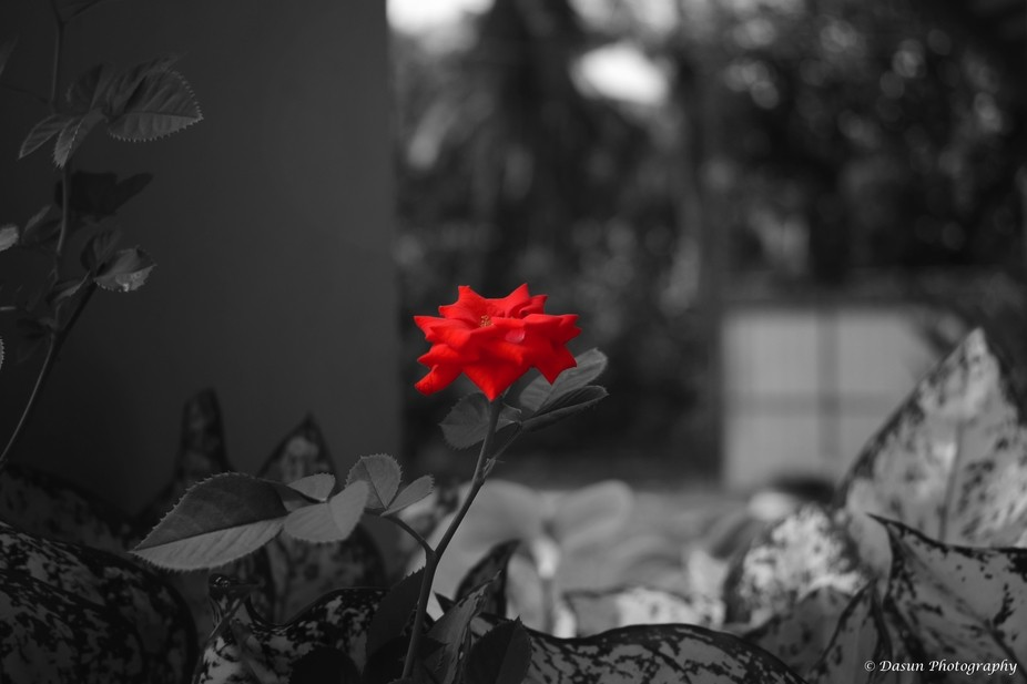 Red Rose from past