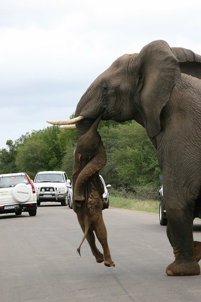 Elephant with dead baby elephant