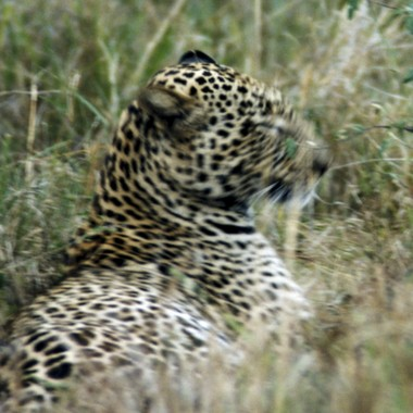 Leopard Moving Fast