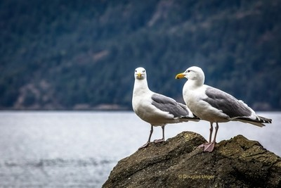 A Couple Of Gulls On A Rock