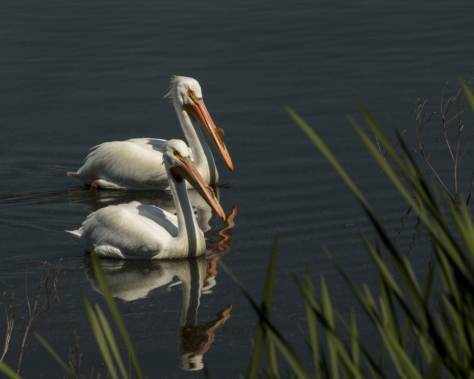 This pair of pelicans swam by when I was resting on a bench at Struve Slough.