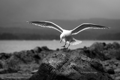 A Gull Landing