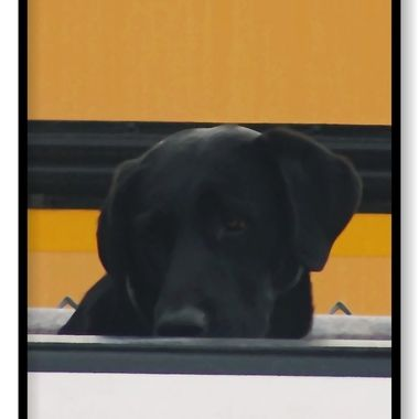 While waiting to pick up my son from school I saw this Lab in the back of a truck with the school bus in the background.
