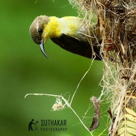 This cute sunbird was building own home.