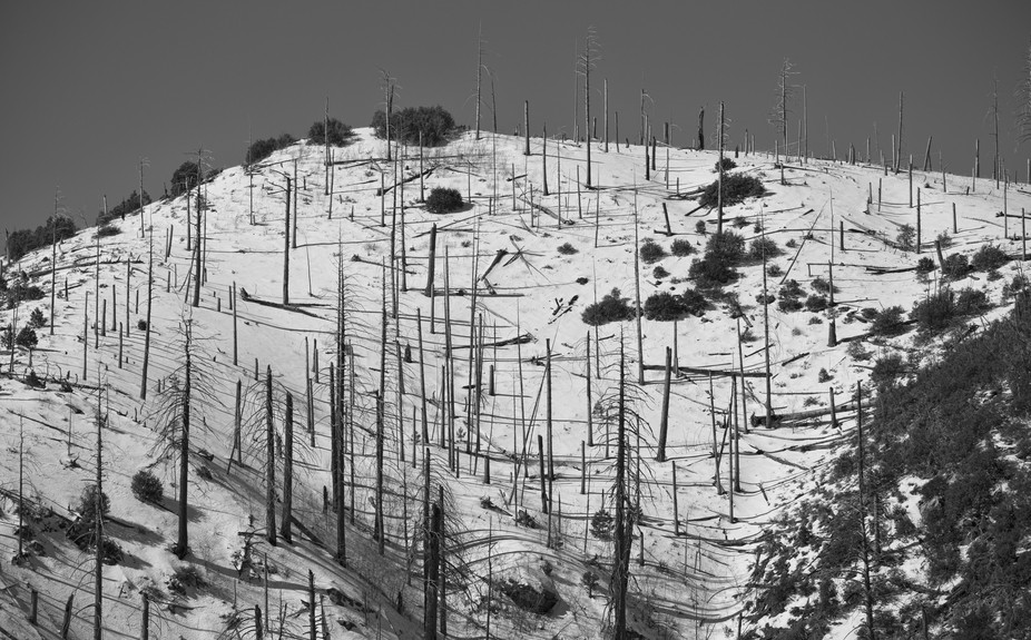 Several years after a fire the skeletons of Aspen trees exist in the winter atop a mountain peak in southern Arizona