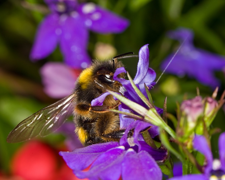 As a child I was alwas afraid of bees an bumblebees, now I love them!