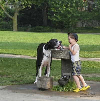 OREO the Mantle Great Dane drinking from water fountain as his best friend and buddy Robson at 5 looks on - Photo by David R. Smith